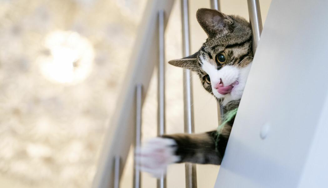 Ingen av de seks smittede kattene i studien ble plaget av koronaviruset.