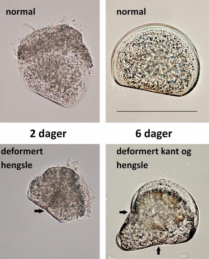 Skallet hos to og seks dager gamle larver av stort kamskjell, i vanlig sjøvann (øverst) og i surere sjøvann (nederst). Pilene viser skader i både hengselen og i kanten. (Foto: Havforskningsinstituttet)