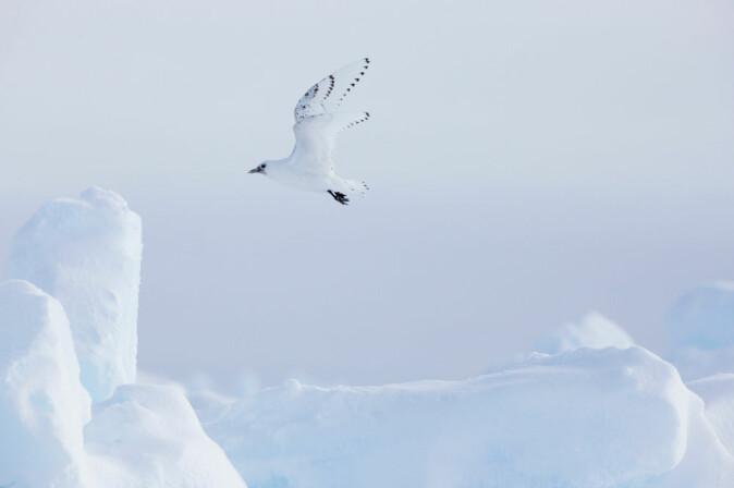 En ismåke flyr over skrugarder. Skrugarder dannes ved at isflak kolliderer, bryter opp og presses over hverandre.
