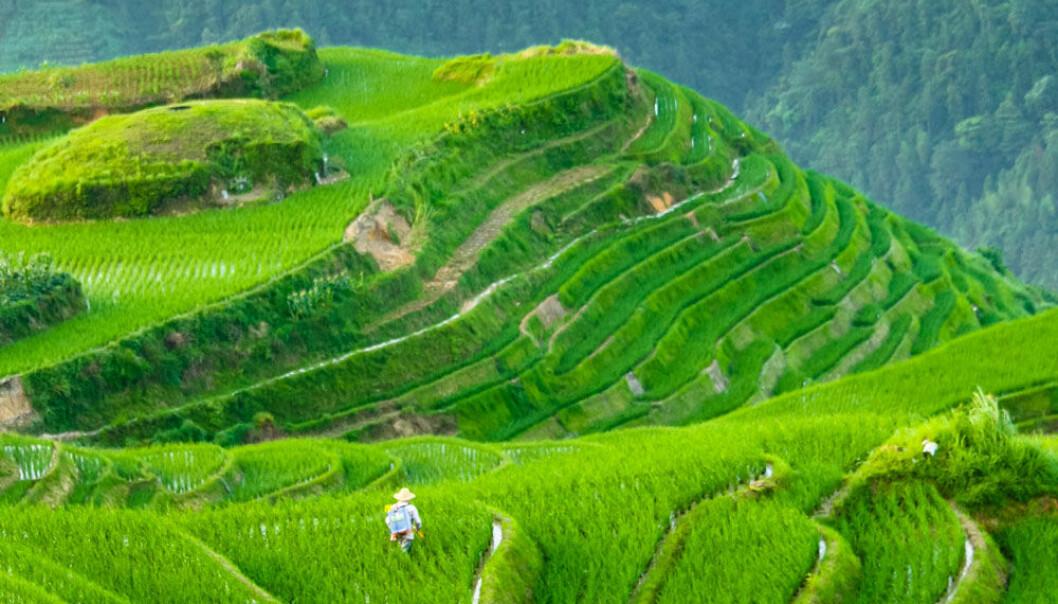 Dyrking av ris på rismarker krever mer innsats og samarbeid enn hveteproduksjon. Det kan gjøre noe med kulturen. (Illustrasjonsfoto: Microstock)