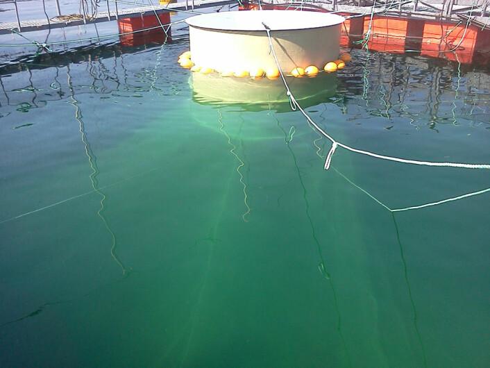 Snorkelmerden utnytter laksens naturlige atferd og kan være aktuell for de fleste oppdrettsanlegg. (Foto: Havforskningsinstituttet)