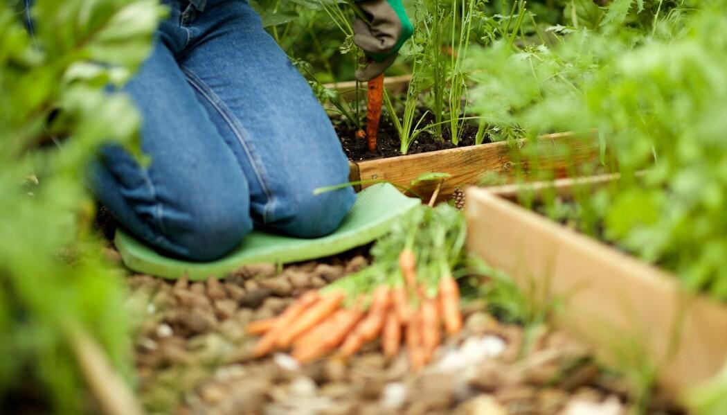 Det har blitt populært å dyrke frem sine egne grønnsaker og urter.