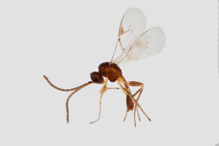 Snyltevepsen Lyciphlebus testaceipes er funnet i Vest-Afrika. (Foto: Erling Fløistad)