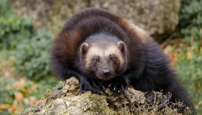 Jerven regnes med blant Europas fem store sammen med ulv, brunbjørn, gaupe og europeisk bison.
