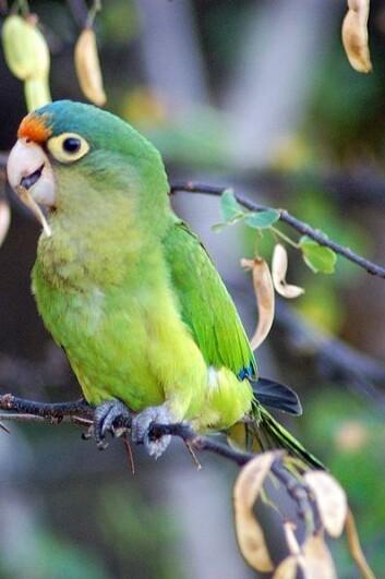 Ny forskning viser at papegøyer bruker sin evne til å imitere lyder for å henvende seg til bestemte individer. På bilde er en papegøye fra Costa Rica, arten Aratinga canicularis. (Foto: Wikipedia Commons)