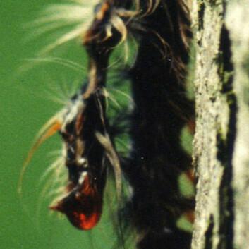 Larve av løvskognonne drept av baculovirus (Foto: Michael Grove)