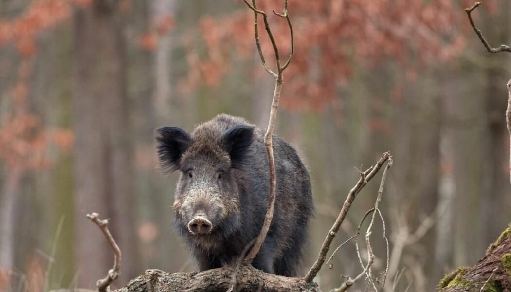 Det kan være ganske skremmende å møte en gjeng med store svin i skogen. Men det lite sannsynlig at vi møter dem, mener forsker.