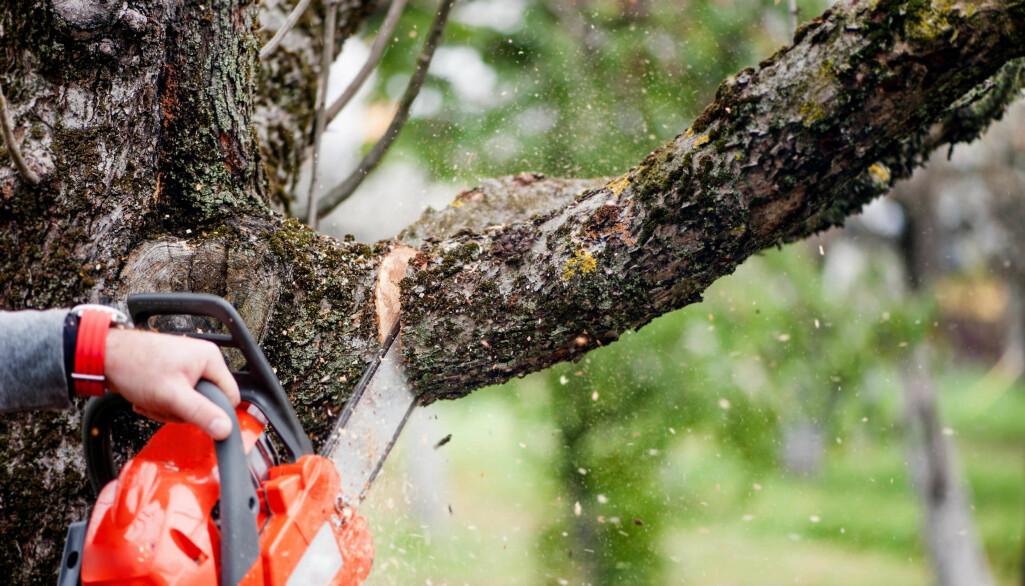 Det er ikke fritt fram for å felle eller beskjære naboens trær.