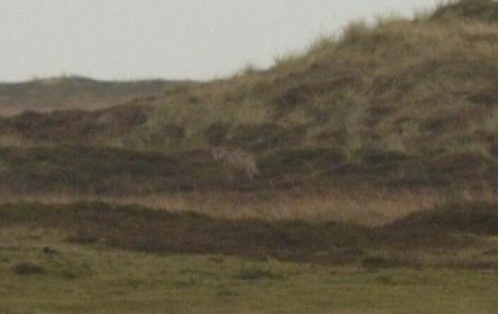 Bildene som skulle vide en ulv på tokt i Danmark vakte stor oppsikt i Danmark i oktober. Nå er det bekreftet av danske zoologer. Det er første gang rovdyret er funnet i Danmark på 200 år. (Foto: Kim Frost/Miljøministeriet)