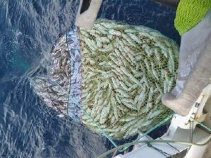 En stor snurrevadfangst. (Foto: SINTEF Fiskeri og havbruk)