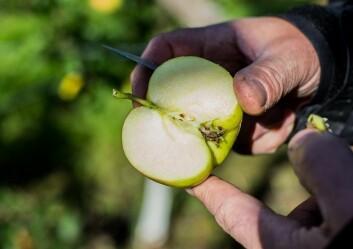 Kjernane viser kor mogne epla er. (Foto: Anette Tjomsland)