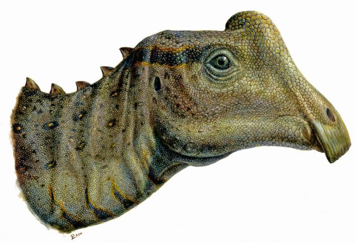 En kunstners framstilling av hvordan hodet til Parasaurolophus-ungen kan ha sett ut. Den imponerende hodepryden som voksne utgaver av dyret hadde er her bare en liten kul. (Foto: (Illustrasjon: Lukas Panzarin))