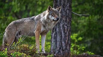 Politisk strid om hva som skal til for å skyte ulv