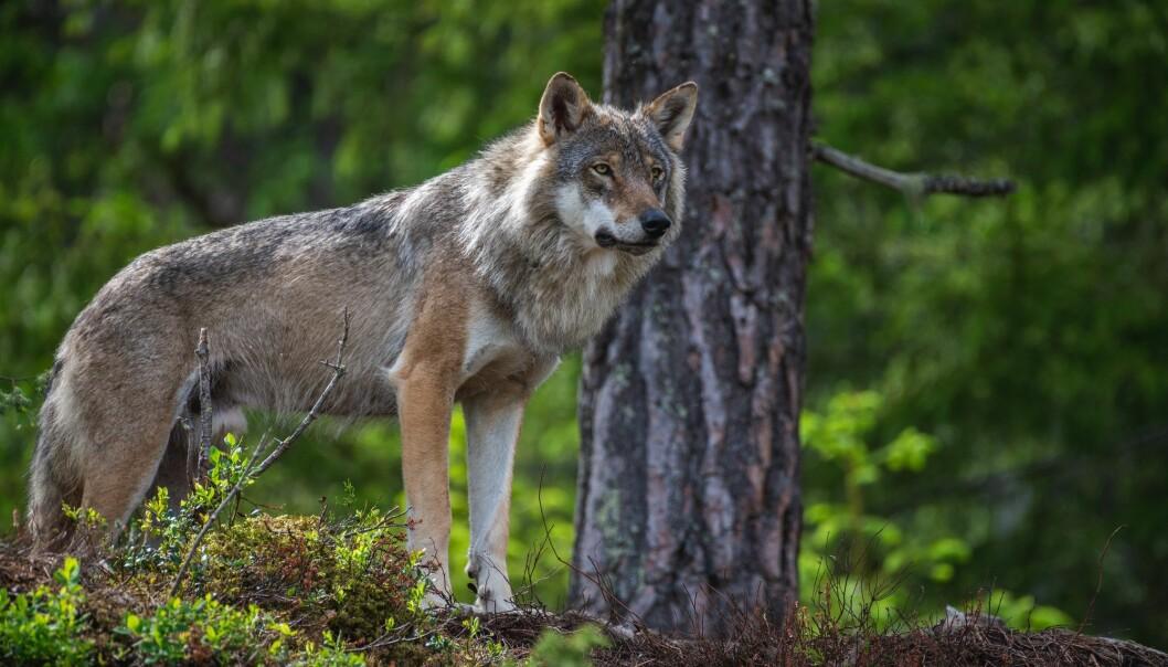 Forslag til endringer i rovdyrpolitikken skal stemmes over onsdag 3. juni.