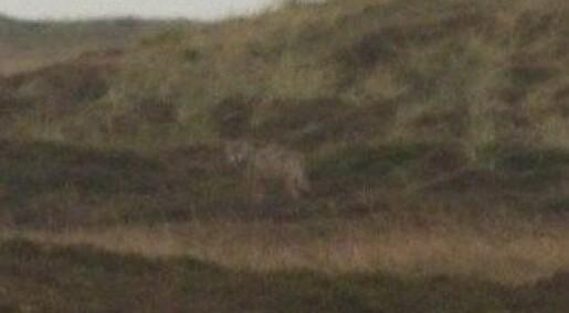 Fant ulv i Danmark