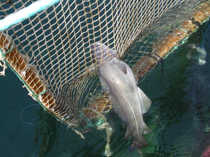 Bildet viser tydelig torskens nysgjerrighet: I stedet for å svømme rundt det oppsatte notpanelet, har fisken forsøkt å komme seg gjennom et alt for lite hull. (Foto: Prosjektet Rømmingssikker not for torsk)