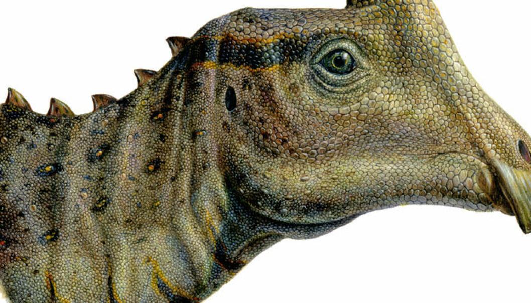 Parasaurolophus, unge. (Illustrasjon: Lukas Panzarin)