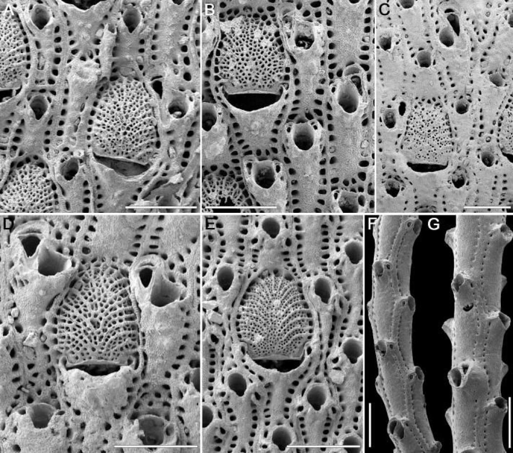Foregår evolusjon gradvis eller brått? Her ser vi fossiler av mosdyr, marine virvelløse dyr, som til nå har vært kroneksempelet på at Stephen Jay Goulds teori holder vann.