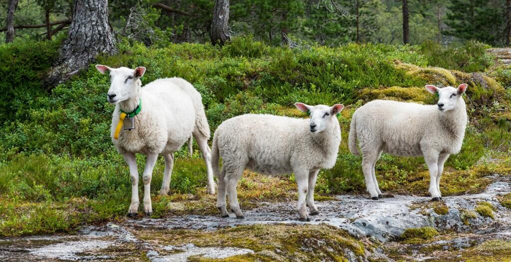 For å hindre spredning av sauesykdommer, er det strenge begrensninger på flytting av småfe i Norge.