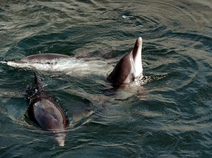 Delfiner skal også leve lengre hvis de har gode sosiale relasjoner. (Illustrasjonsfoto: www.colourbox.no)