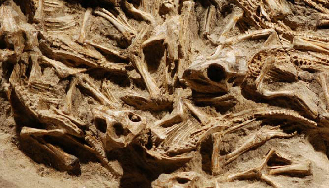 Unger av Protoceratops andrewsi i reiret. Dr. Kh. Tsogtbaatar