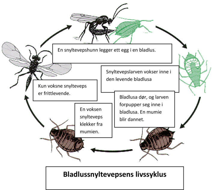 Bladlussnyltevepsens livssyklus. (Foto: (Ill.: Trond Hofsvang))