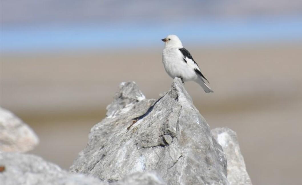 Snøspurven er verdens nordligste hekkende spurvefugl og den eneste spurven som trekker til Svalbards natur. (Foto: Geir Wing Gabrielsen / Norsk Polarinstitutt)