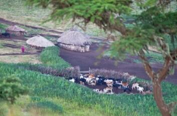 Storfe nær Serengeti holdes ofte i innhegninger, men væpnet vakthold kan være nødvendig. (Foto: Gary Tognoni, Photos.com)