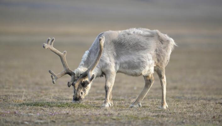 A Svalbard reindeer grazing on a polar willow.