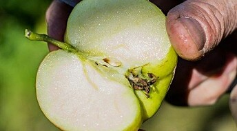 Spør en forsker: Når er epla mogne?