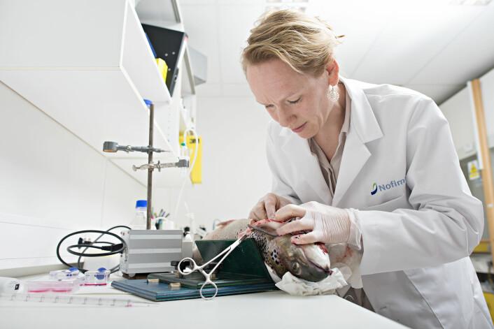 Forsker Tone-Kari Knutsdatter Østbye har tatt leverprøver av laksen for å isolere og dyrke leverceller og studere laksens kapasitet til å produsere de lange marine omega-3 fettsyrer fra de korte omega-3 fettsyrene i rapsolje. Ved å radiomerke den korte omega-3 fettsyren, kunne hun måle hvor mye av fettsyren som ble omdannet til marint omega-3. (Foto: Jon-Are Berg-Jacobsen/Nofima)