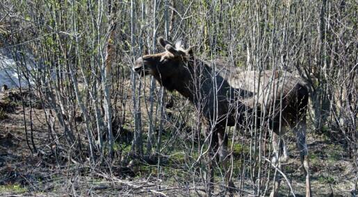 Flere elg krysser grensen fra Russland til Norge