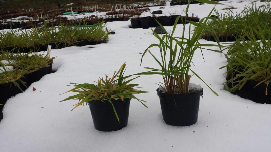 Ulike timoteisorter er satt i potter for å teste vinterherdighet, både i klimalab og utendørs.