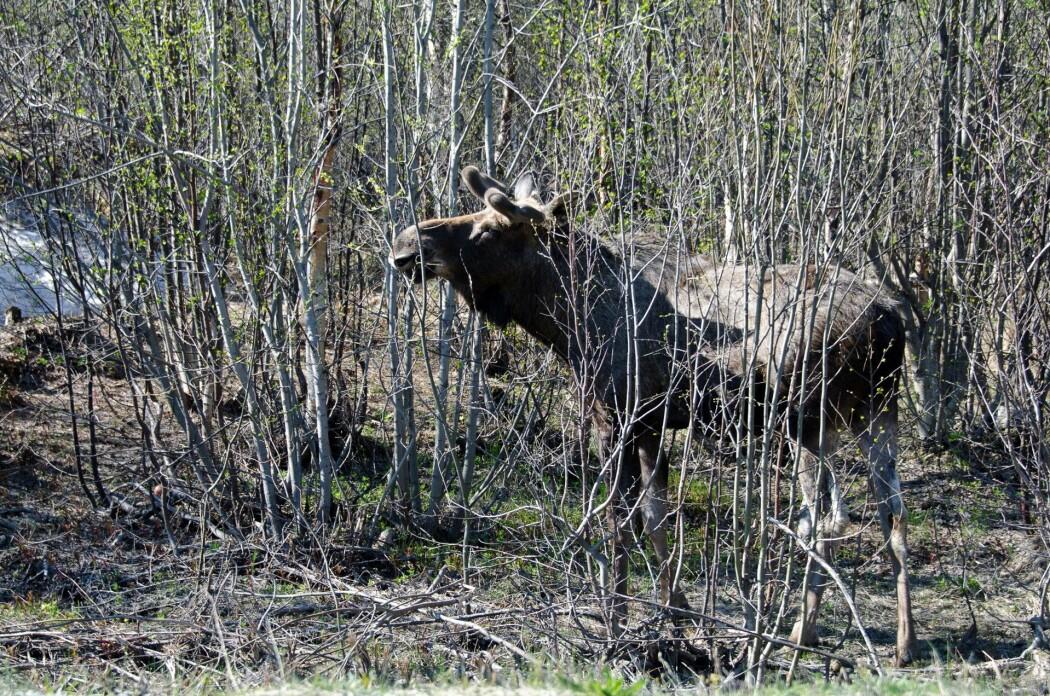 På begynnelsen av 1900-tallet fantes det ikke en eneste elg i Pasvikdalen. Mye har imidlertid endret seg siden den gang.