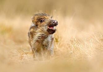 No disadvantages to having kids early. If you're a wild boar, that is.