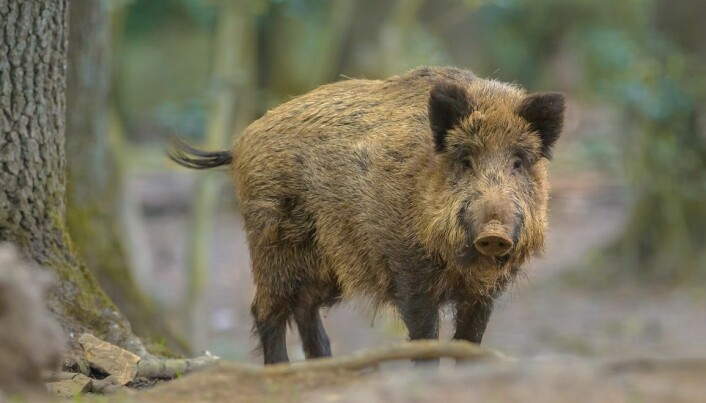 Wild boar are starting to establish themselves in Norway after spreading via Sweden.