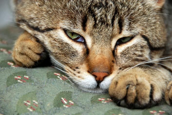 Dyrene legger seg ikke til å sove etter å ha fått utløsning, forklarer primatolog Jill Byrnit. Kanskje fordi seksualakten er mindre inderlig og krevende enn hos mennesket. «Men noen blir kanskje slitne av lange forspill. Sex mellom katter er for eksempel en temmelig lang og utmattende prosess, og det er tydelig at for eksempel huskatter blir trøtte etter akten», sier hun. (Foto: Colourbox)