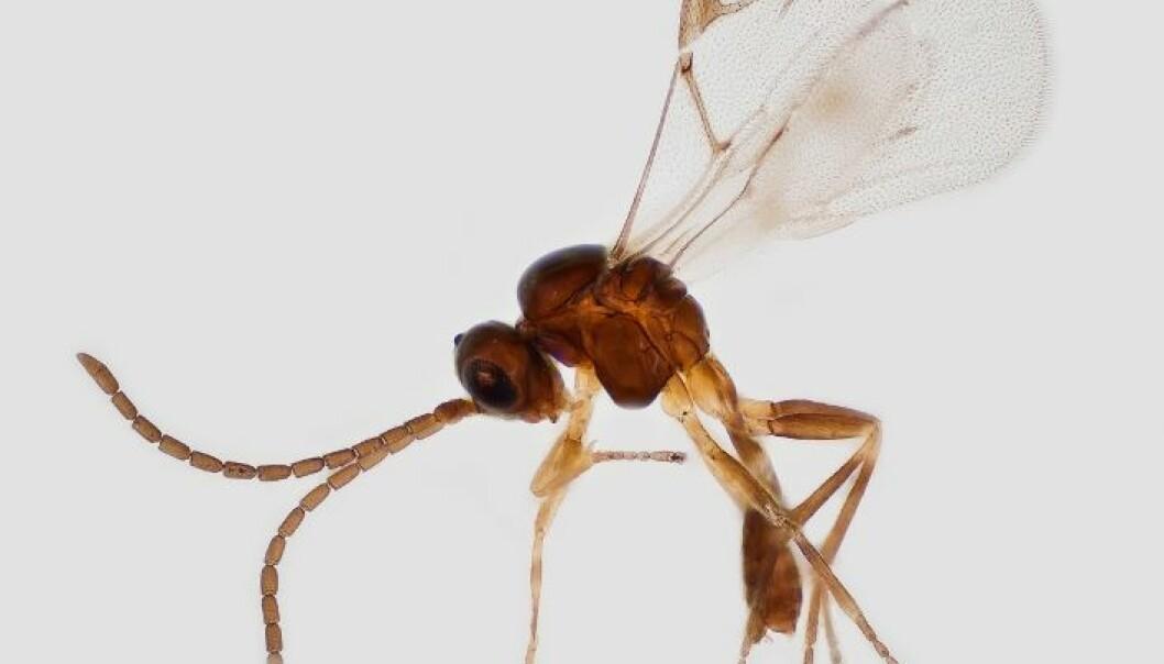 Snyltevepsen Lyciphlebus testaceipes er funnet i Vest-Afrika. Erling Fløistad