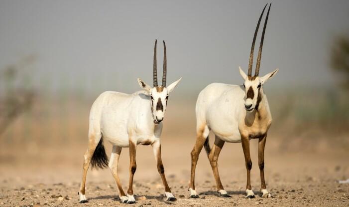 Antilopen Arabisk oryx levde før over nesten hele Midtøsten. I 1970 var det ikke flere ville dyr igjen, men flere overlevde i fangenskap. Noen av dem ble satt ut i naturen, og i dag er det omtrent 850 voksne dyr som bor i fem land. Opptil 7000 slike antiloper lever i fangenskap.