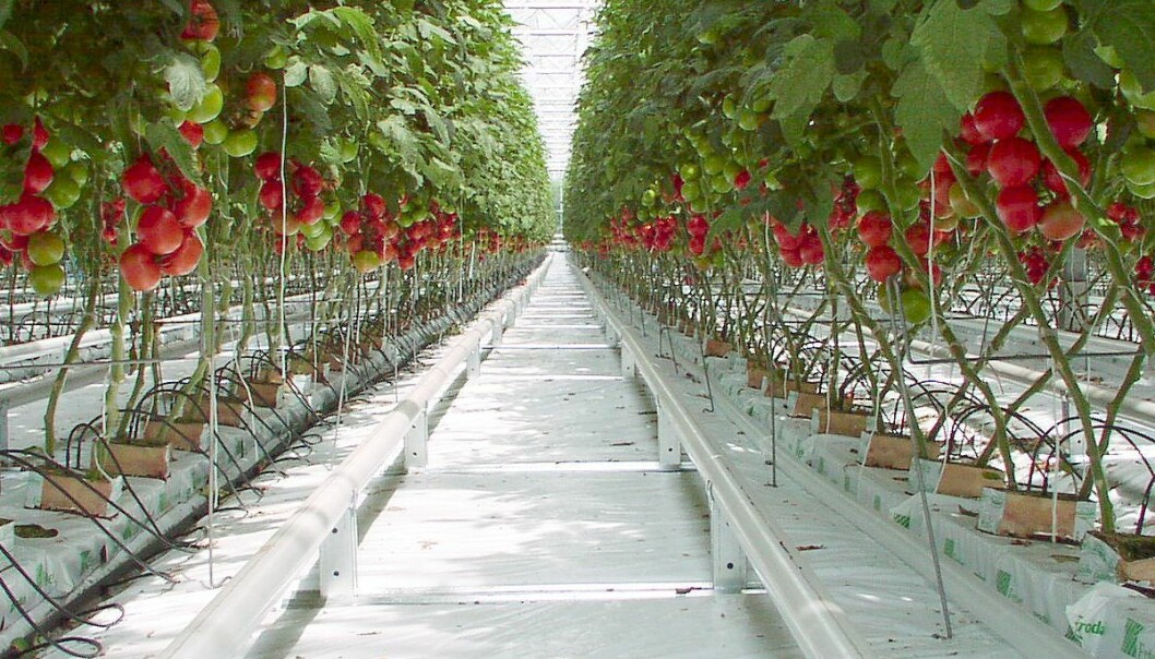 "<a href=""http://commons.wikimedia.org/wiki/File:Tomato_P5260299b.jpg"">Goldlocki</a>"