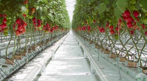 Når blomstrer tomaten?