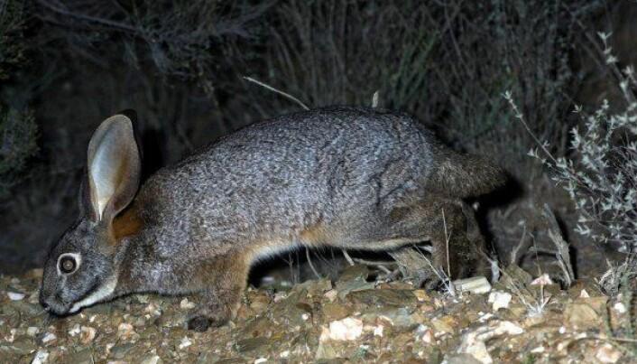 Riverin-haren lever i ørkenen i Sør-Afrika, men er i ferd med å forsvinne.