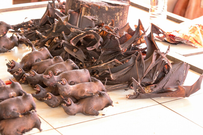 Flere steder i Asia fanges og selges ville flaggermus for å bli spist av mennesker. Det innebærer en risiko for at virus hopper fra flaggermus til mennesker. Men ødeleggelsen av flaggermusenes naturlige levesteder bringer også mennesker og flaggermus tettere sammen, påpeker danske forskere.