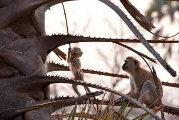 Primater, her marekatter, regnes som de største plageåndene blant bønder nær nasjonalparken Serengeti. (Foto: Photos.com)