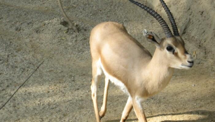 Slender-horned gaselle