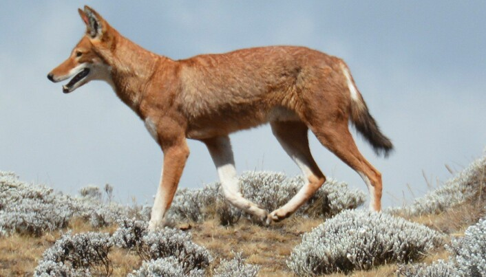 Etiopisk ulv