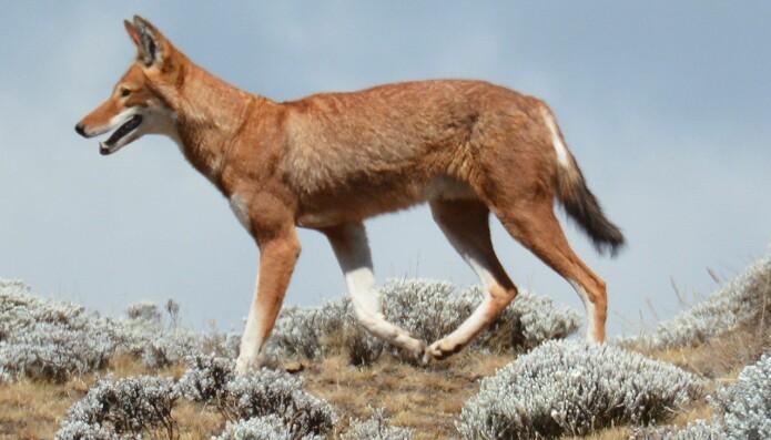 Etiopisk ulv er den sjeldneste ulvearten. I 2011 var det bare 197 voksne dyr igjen. Ulvene blir truet av sykdommen rabies og av at landbruket overtar leveområdene deres.