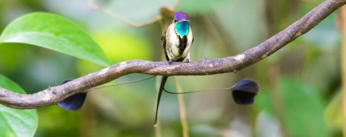 Denne kolibrien har en helt spesiell hale med to vakre fjær. Den har ikke noe norsk navn, men heter Marvellous spatuletail på engelsk. Fuglen finnes bare i Peru, og det er satt igang tiltak for å redde den.