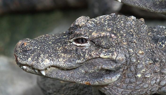 Kinesisk alligator