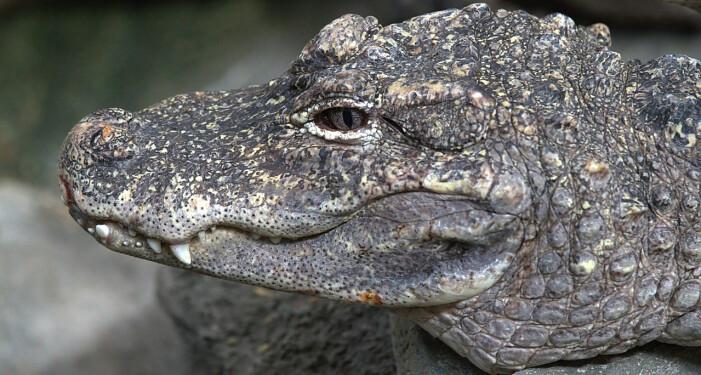 Det finnes mindre enn 100 kinesiske alligatorer igjen ute i naturen. De har mistet leveområdene sine til mennesker, som også har jaktet på dem. Nå blir de alet opp i fangenskap, slik at arten kan bevares.